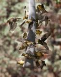 Goldfinch Critical Mass