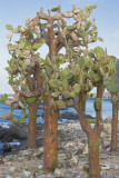Prickly Pear Cactus Trees Santa Fe Island