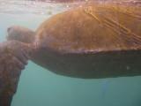 Sea Turtle off Punta Vicente Roca, Isabela