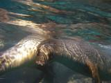 Playful Sea Lions, Punta Vicente Roca 02