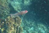 Hogfish at Devil's Crown, Floreana 01