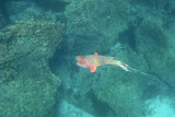 Hogfish at Devil's Crown, Floreana 02