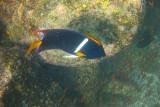Angelfish at Santa Fe