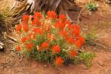 Canyonlands Wildflowers