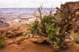 Twisted Juniper At Green River Overlook