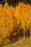 Aspen Grove Outside Ouray