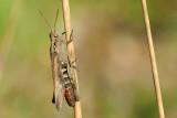 Common field grasshopper, Chorthippus brunneus, Almindelig markgræshoppe 1