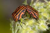 The Striped Shield Bug, Graphosoma lineatum, Stribetæge 1