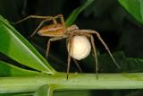 Nursery-web spider, Pisaura mirabilis, Almindelig Rovedderkop 3