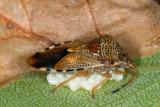 Parent Bug, Elasmucha grisea, Almindelig birketæge 1