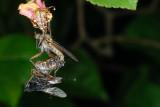 Dance Fly, Empis tesselata, Stor danseflue 2