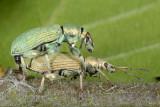 Phyllobius calcaratus 1