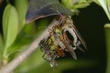 Dance Fly, Empis tesselata, Stor danseflue 3