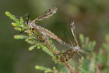 Crane Flies, Stankelben 1
