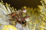 Myopa tessellatipennis 2