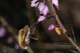 Bee Fly, Bombylius major, Stor humleflue 1
