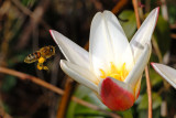 Bee and tulip 2