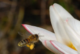 Bee and tulip 4