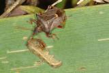Spiked Shield Bug, Picromerus bidens, Torntæge 3