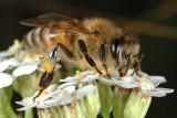 Bee collecting pollen 2