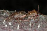 Spiked Shield Bug, Picromerus bidens, Torntæge 5