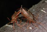 Spiked Shield Bug, Picromerus bidens, Torntæge 6