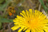 Bee collecting pollen 3