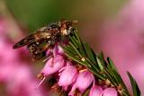 Myopa tessellatipennis 3