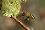 Bee collecting pollen 4