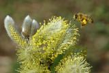 Bee collecting pollen 5