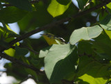 Blackburnian Warbler2