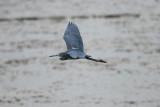 Little Blue Heron3
