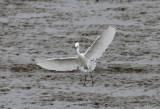 Snowy Egret2