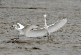 Snowy Egret4