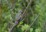 Croaking Ground-Dove