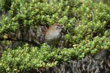 White-chinned Thistletail