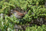 White-chinned Thistletail2