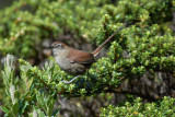 White-chinned Thistletail3