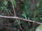 Emerald-bellied Puffleg2