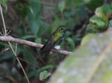 Emerald-bellied Puffleg3