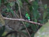 Emerald-bellied Puffleg4