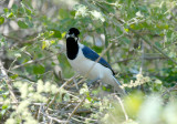 White-tailed Jay2