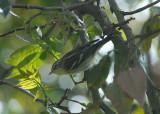 Blackburnian Warbler3