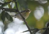 Blackburnian Warbler5