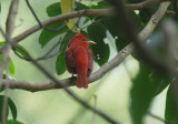 Summer Tanager3