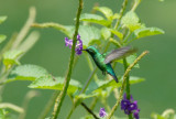 Blue-tailed Emerald2