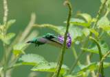 Blue-tailed Emerald3
