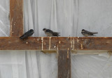 Brown-bellied Swallow6