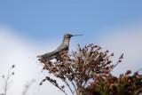 Giant Hummingbird2