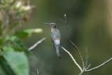 Giant Hummingbird3